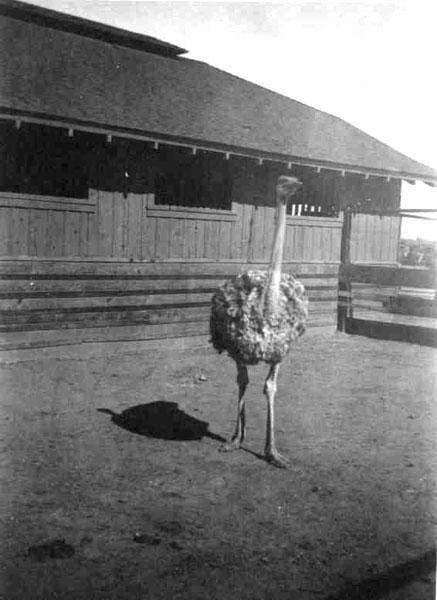 Ostrich at the UA's Poultry and Ostrich Yards, located south of Steward Observatory.
